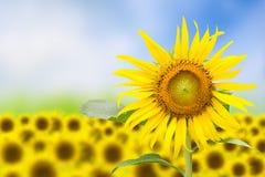 Абстрактная флористическая предпосылка с солнцецветом стоковая фотография rf
