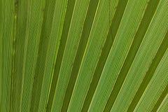 Абстрактное изображение зеленых лист ладони Стоковая Фотография