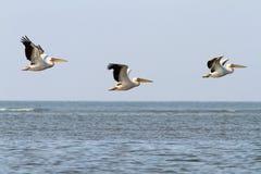 Абстрактное образование 3 пеликанов Стоковые Изображения RF