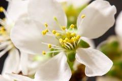 Абстрактное цветение вишни Стоковая Фотография RF