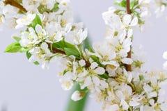 Абстрактное цветение вишни Стоковые Изображения RF
