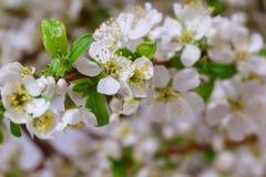 Абстрактное цветение вишни Стоковое Фото