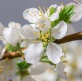 Абстрактное цветение вишни Стоковые Фото