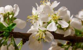 Абстрактное цветение вишни Стоковые Фотографии RF