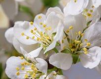 Абстрактное цветение вишни Стоковое Изображение