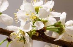 Абстрактное цветение вишни Стоковая Фотография