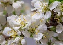 Абстрактное цветение вишни Стоковое фото RF