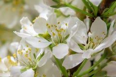 Абстрактное цветение вишни Стоковое Изображение RF