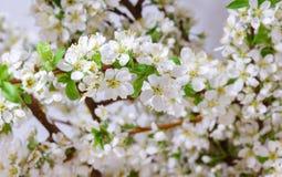 Абстрактное цветение вишни Стоковые Изображения