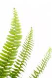 абстрактные листья зеленого цвета папоротника Стоковое Изображение RF
