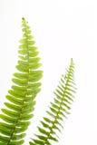 абстрактные листья зеленого цвета папоротника Стоковые Изображения RF