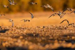 Абстрактные птицы в заходе солнца полета Стоковое Фото