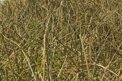 абстрактные тростники Стоковая Фотография RF