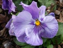 Абстрактные фиолетовые цветки цветка Pansies Pansy Стоковая Фотография RF