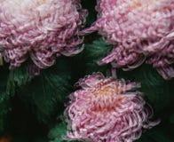 Абстрактные хризантемы Стоковое Изображение RF