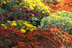абстрактные цветки цвета хризантемы предпосылки стоковое изображение rf