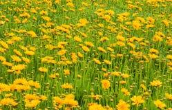 абстрактные цветки цвета хризантемы предпосылки Стоковое Фото