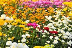 абстрактные цветки цвета хризантемы предпосылки Стоковое Изображение