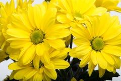 абстрактные цветки цвета хризантемы предпосылки Стоковые Фото