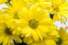 абстрактные цветки цвета хризантемы предпосылки Стоковые Изображения