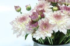 абстрактные цветки цвета хризантемы предпосылки Стоковая Фотография RF