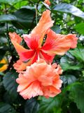 абстрактный вектор иллюстрации hibiscus цветка цветок предпосылки тропический Стоковые Изображения RF