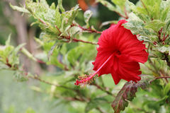 абстрактный вектор иллюстрации hibiscus цветка зацветите красный цвет Цветок Стоковое Фото
