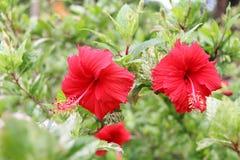 абстрактный вектор иллюстрации hibiscus цветка зацветите красный цвет Цветок Стоковая Фотография