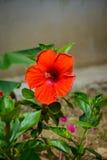 абстрактный вектор иллюстрации hibiscus цветка Отмелый DOF Стоковое Изображение