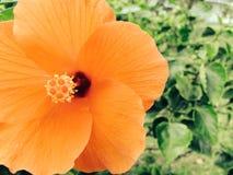 абстрактный вектор иллюстрации hibiscus цветка стоковые изображения