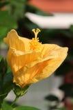 абстрактный вектор иллюстрации hibiscus цветка Стоковая Фотография