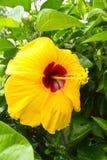 абстрактный вектор иллюстрации hibiscus цветка Стоковое Изображение RF