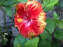 абстрактный вектор иллюстрации hibiscus цветка Стоковое Изображение