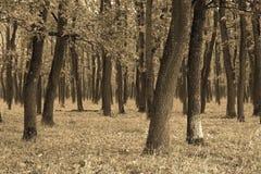 Абстрактный взгляд леса дуба Стоковая Фотография