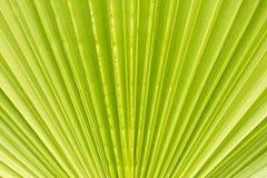 Абстрактный взгляд лист ладони вентилятора Стоковые Фотографии RF