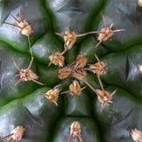 абстрактный завод succulent кактуса textuer предпосылки Стоковые Фотографии RF