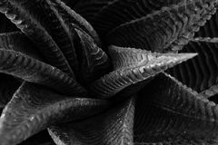 абстрактный завод succulent кактуса textuer предпосылки Стоковое Изображение