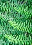 абстрактный зеленый цвет папоротника Стоковое фото RF