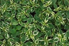 Абстрактный зеленый цвет текстуры выходит картина Стоковая Фотография