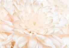 абстрактный конец хризантемы вверх Стоковое фото RF