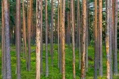 Абстрактный ландшафт древесины сосны Стоковое Фото