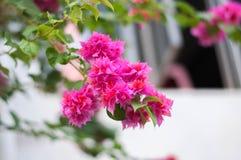 Абстрактный розовый цветок бугинвилии с предпосылкой нерезкости стоковое изображение rf