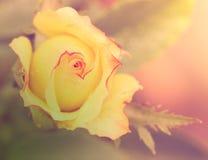 Абстрактный романтичный цветок розы желтого цвета с падениями Стоковое фото RF