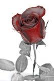 абстрактный серый цвет выходит красный цвет поднял Стоковые Изображения