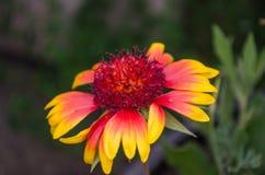абстрактный спектр лепестков цветка пожара Стоковые Изображения RF