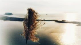 Абстрактный сюрреализм Браун и золотые одиночные камышовые дуновения wispy в переднем плане Предпосылка океана расплывчатая стоковое изображение rf