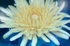 абстрактный цветок одуванчика предпосылки Большой одуванчик Стоковое Фото
