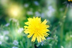 абстрактный цветок одуванчика предпосылки Большой одуванчик Стоковые Фото