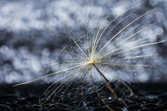 Абстрактный цветок одуванчика с падениями воды и предпосылкой bokeh Стоковое Фото