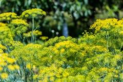 абстрактный цветок поля укропа глубины состава отмелый Стоковая Фотография RF